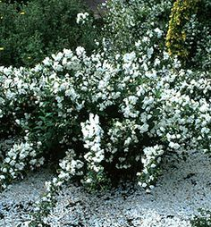 Philadelphus Snowbelle White Flowering Shrub - Now a compact growing mockorange perfect for small yards or areas with limited space. The Snowbelle produces wonderfully fragrant double while flowers in mid spring. Great for cut flowers in spring arrangements
