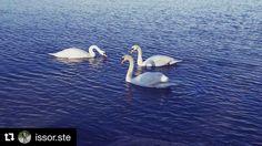 #Repost @issor.ste  The Swan Lake. #swan #swanlake #lake #trasimenolake #umbria #umbrians #paesaggio #landscape #umbrialandscape #bluesky #january #blue #sunday #instagram #instapicture #instamood #instalake #likeforlike #like4like #instanature #picture #picoftheday