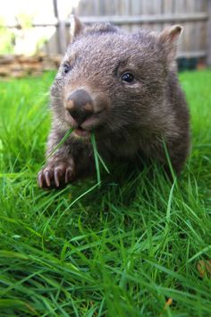 Young wombat at Healesville Sanctuary
