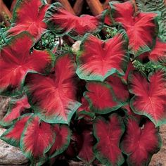 adds a tropical feel to a garden. Mix well with caladiums, begonia, impatiens and coleus. Good for containers, including hanging baskets, and for shady gardens. Common Name: Fancy Caladium or Angle Wing Botanical . Elephant Ear Plant, Elephant Ears, Bonsai Plants, Garden Plants, Bonsai Seeds, Potted Plants, Fruit Garden, Hanging Plants, Cactus Plants