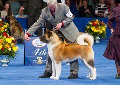 The 2012 National Dog Show: The Akita