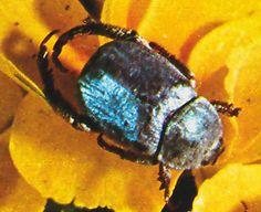 """""""Hoplica caerulea"""". Pocos insectos lucen un cromatismo tan sumamente delicado como el que puede apreciarse en los de esta especie, cuyo colo rido varía en función de la iluminación."""