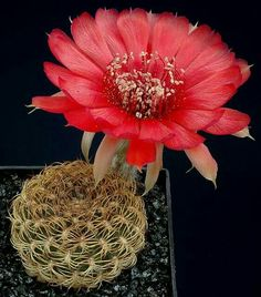 Lobivia tiegeliana v dimorphipetala Succulent Terrarium, Cacti And Succulents, Cactus Plants, Purple Plants, Bonsai, Desert Plants, Cactus Y Suculentas, Desert Rose, Cactus Flower