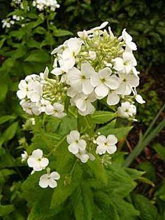 Hesperis matronalis - Arrosoirs et Sécateurs Mixed Border, Tattoos For Women Flowers, Zone 5, Decorations, Garden, White Gardens, Plant, Garten, Dekoration