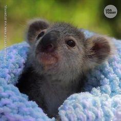 Meet Elsa the koala joey ❄️🐨 - baby animals Baby Animals Super Cute, Cute Little Animals, Cute Funny Animals, Cute Puppies, Cute Dogs, Baby Animal Videos, Australian Animals, Tier Fotos, Cute Animal Pictures