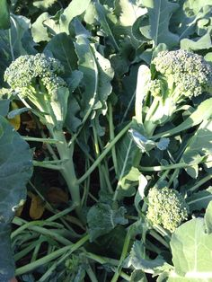 Broccoli side shoots.  Don't give up on that broccoli plant just yet.  Once you harvest the main head, wait a few weeks and harvest the smaller side shoots.  The leaves can also be eaten.  Sauté like collards, or chiffonade and crisp up like kale chips.