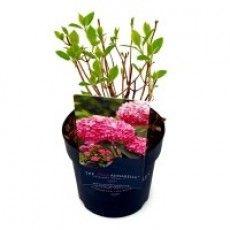 Hydrangea arborescens 'Invincibelle' the pink Annabelle Hydrangea