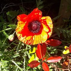 First poppy of the season on our garden! These giant opium poppies grow like weeds here- and actually bright red