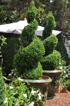 I absolutely love spiral topiary!