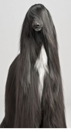 Am I the only one that thinks that this dogs hair would be insain to maintain? #janinejansen #cute #animals #hairstyles