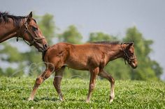 Awesome Again's colt is being pushed along by his mother.