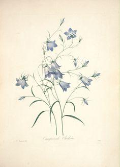gravures de fleurs par Redoute - Gravures de fleurs par Redoute 111 campanule…