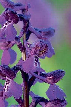 Britain's wild flowers: Green Winged Orchid