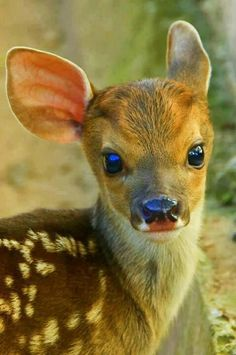 Ok so one of the biggest things on my bucket list is the raise a fawn!  They are just the cutest baby's out there!