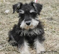 Schnauzer of the Month via http://Schnauzers-Rule.com