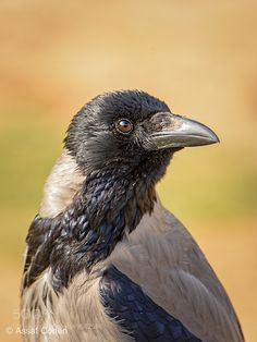 hooded crow by Assaf Cohen Animal Dictionary, Crow Bird, Jackdaw, Crows Ravens, Animal Totems, Wildlife Art, Bird Species, Magpie, Wildlife Photography