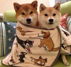 Shiba inu, Dog, shiba inu puppy, sleepy, cute dog, sleepy dog, dog heaven, dog accessories, dog love, happy dog
