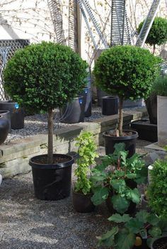 Love these Green Velvet Boxwood.if I can find them! Boxwood Tree, Boxwood Garden, Boxwood Topiary, Topiary Trees, Garden Pots, Garden Ideas, Boxwood Landscaping, Front Yard Landscaping, Back Gardens