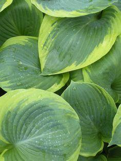 1098 best hostas images hosta gardens garden plants hosta plants rh pinterest com