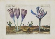 The Antiquarium - Antique Print & Map Gallery - Crispin de Passe - Colochicum - Hand-colored copperplate engraving