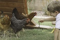 Backyard Chickens and Kids