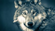 Yellowstone wolf biologist Doug Smith was among those who brought the first wolves into the famous national park ...