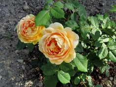 Golden Celebration. David Austin rose. Tout juste plantée. A Merry-la-Vallée. Yonne