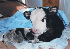 Blue Heeler puppy with calf. Best cow dogs ever. My mamaw had Blue Heelers the entire time I was growing up always males and always named ROWDY! They are great herding dogs extreamly smart and loyal.