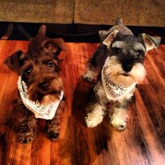 Two adorable little mini Schnauzer puppies, they are so cute❤️