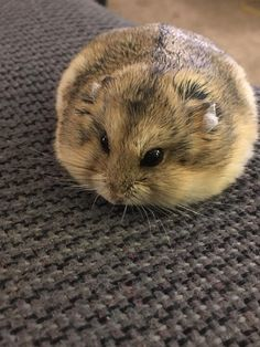 Chief in blob form #aww #Cutehamsters #hamster #hamstersofpinterest #boopthesnoot #cuddle #fluffy #animals #aww #socute #derp #cute #bestfriend #itssofluffy #rodents