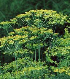Dill's longstanding reputation as a remedy for indigestion and ulcers recently has been validated by two studies: Scientists found that dill inhibits the secretion of stomach acids in mice, and may help protect a ruptured stomach lining from irritants.