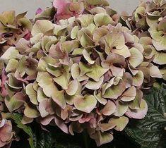Antique hydrangea...i love the soft colors.