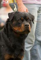 ROT-TCHÊ-WEILER O Rottweiler na cidade de Rio Grande: Agosto 2012
