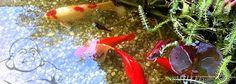 Wie die Fische im Wasser so schwimmen wir in Göttlichkeit - ohne dass wir es merken. Eine Geschichte von Osho.