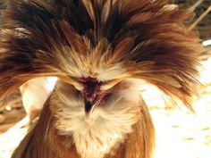 The Polish chicken isn't endangered, but it does have some problematic hair: That crest of feathers on its head makes it difficult for the birds to survive in cold weather if the feathers freeze, and the chickens often have trouble seeing what's ahead of them when the crest obstructs their view.