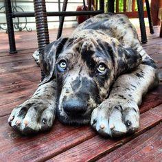 Great Dane Dog Puppy Hound Dogs Hunting Puppies Danish / German Mastiff