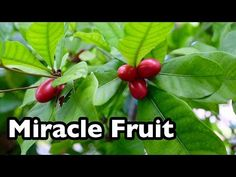 All About Miracle Fruit! - YouTube