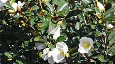 michelia yunnanensis - Google Search