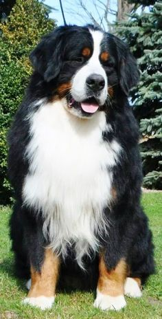 "Handsome Berner boy  Looks like~ his twin brother, ( from another mother)   is my,  ""handsome Berner boy!"""