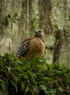 Myakka's Red-shouldered Hawks - Red-shouldered Hawk in tree | Show Me Nature Photography