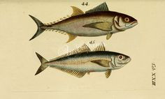 Tuna, Atlantic Horse Mackerel      ...