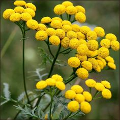 Tansy essential oil (Tanacetum vulgare)
