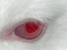 ...Albino rabbit's window to the soul...