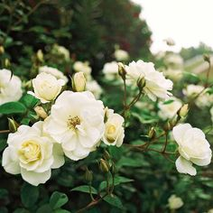 Iceberg Rose-Iceberg Rose  One of the most dependable roses, 'Iceberg' produces clusters of fragrant, creamy-white blooms all summer and fall.  Name: Rosa 'Iceberg'  Growing Conditions: Full sun and moist, well-drained soil  Size: To 5 feet tall and 3 feet wide  Zones: 5-9  Plant it with: 'Iceberg' pairs perfectly with any other type of rose, as well as lavender (Lavandula) and catmint (Nepeta).