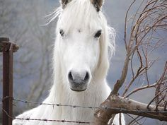 Horse, Pony, Animal, Head, Stallion
