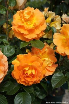 Rose 'Goldelse' Rosa - Blooms start out golden-yellow and mature to a burnt-orange, all the colours of a beautiful sunset. Height 4'. Cold hardy to Zone 5.