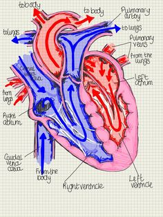 A place to find hints, tips and ask questions. : Basic diagram of the Heart, highlighting its main...