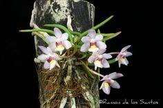 Holcoglossum+flavescens+'May+Joan'+AM-CCM