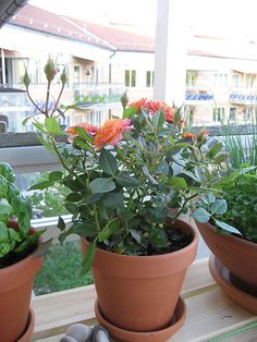 wikiHow to Plant a Bare Rooted Rose Bush in a Pot -- via wikiHow.com