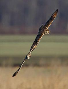 short eared owls frolicking